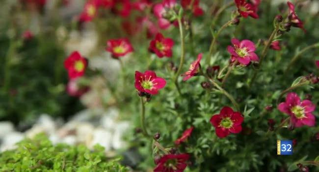 Canal 32 - Le Jardin de Nathalie - découvrez le saxifrage !