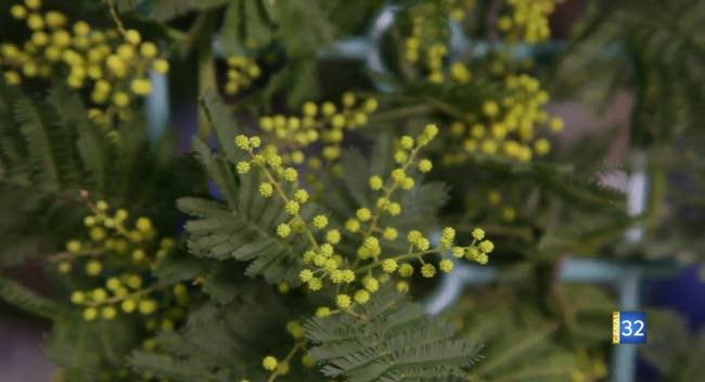 Canal 32 - Le Jardin de Nathalie - le mimosa et le jasmin