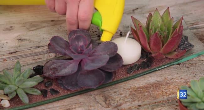Canal 32 - Le Jardin de Nathalie - Rajeunissez vos Echeveria : des plantes grasses sans racines