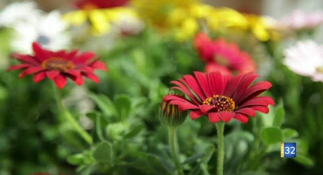 Canal 32 - Le Jardin de Nathalie - colorez votre jardin avec l'osteospermum !