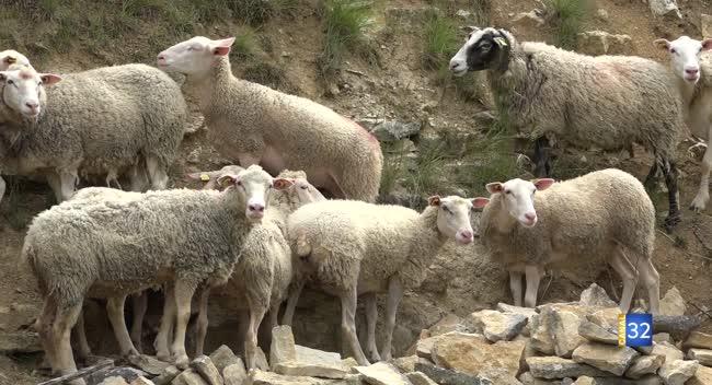 Canal 32 - Nouvelle attaque de brebis à Villiers-le-Bois : s'agit-il d'un loup ?