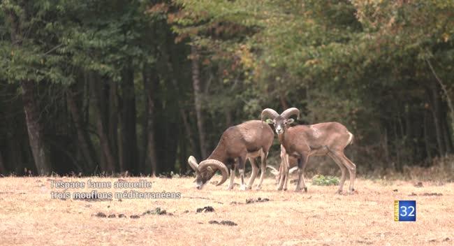 Canal 32 - PNRFO : l'espace faune accueille trois mouflons méditerranéens