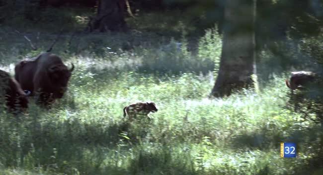 Canal 32 - Un bison est né à l'espace faune du Parc naturel régional de la Forêt d'Orient