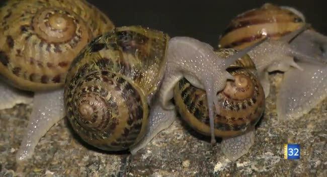 Canal 32 - Vosnon : les escargots du Pays d'Othe sortent de leur coquille