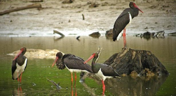 Emission Des cigognes noires à observer près des lacs