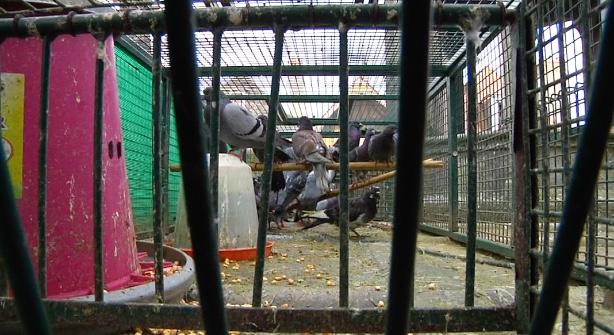 Image Les défenseurs des pigeons dénoncent les méthodes troyennes. La mairie réfute. 0